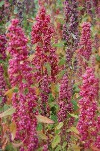"""Quinoa plants"""