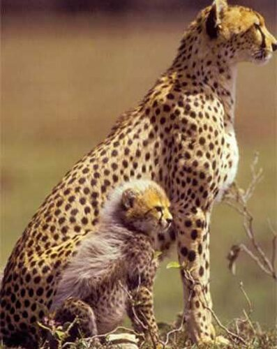 Cheetah facts: Cheetah female