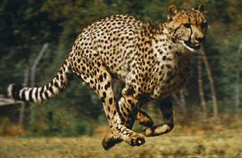 Cheetah facts: Cheetah lung
