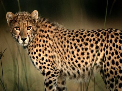 Cheetah facts: Cheetah purrs