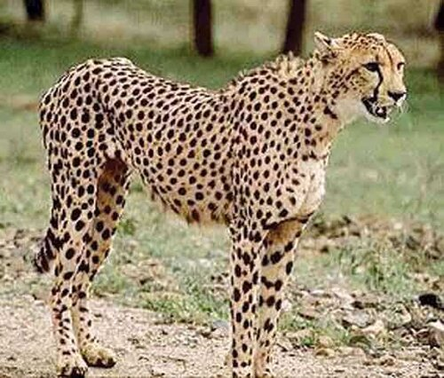 Cheetah facts Cheetah senses 10 interesting Cheetah Facts