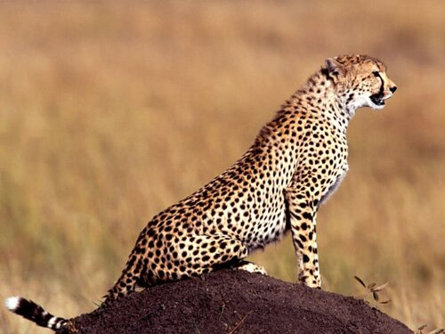 Cheetah facts: Cheetah size