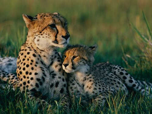 Cheetah facts: Cheetah spot