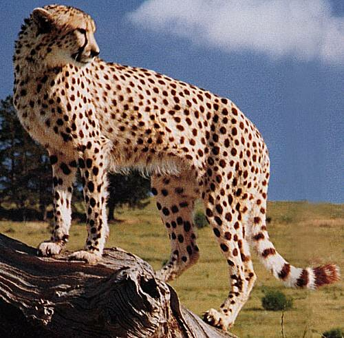 Cheetah facts Drinking habit of cheetah 10 interesting Cheetah Facts