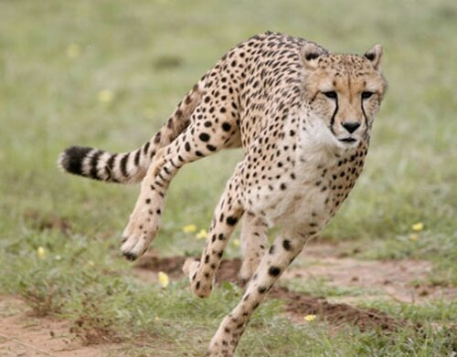 Cheetah facts: Pet Cheetah