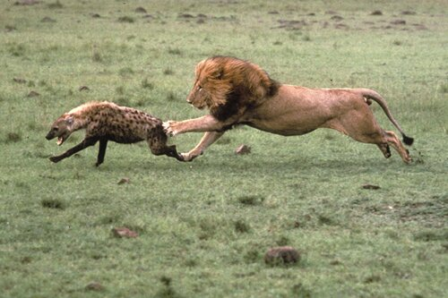 Lion facts Lion and Hyena relationship 10 Interesting Lion Facts
