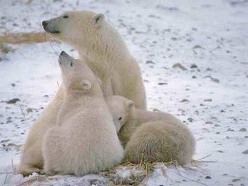 Polar bear facts: Polar bear and cold temperature