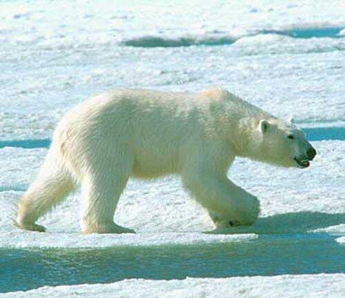 Polar bear facts: Polar bear and frustration