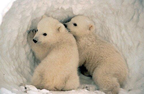 Polar bear facts: Polar bear does not hibernate
