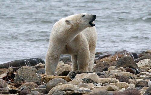 Polar bear facts: Polar bear food