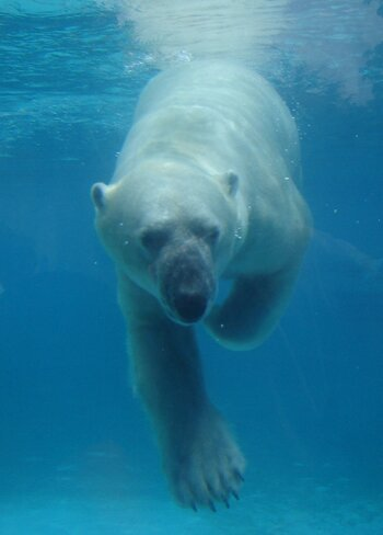 Polar bear facts: Polar bear is good swimmer