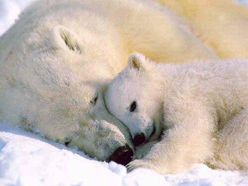 Polar bear facts: Polar bear weight