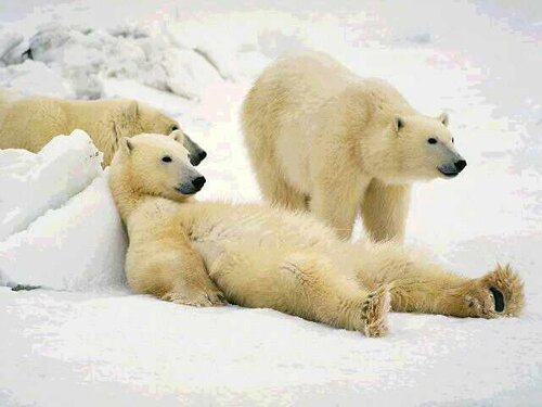 10 interesting polar bear facts in fact collaborative