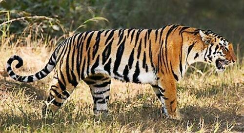 Tiger facts: Adult tiger