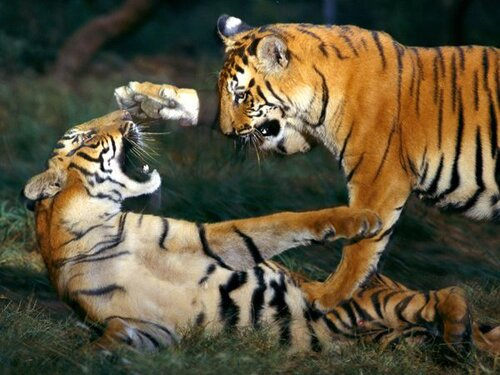 Tiger facts: Siberian tiger and its highest weight
