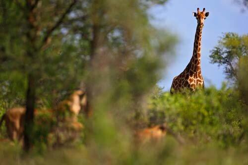 giraffe facts Giraffe and lion
