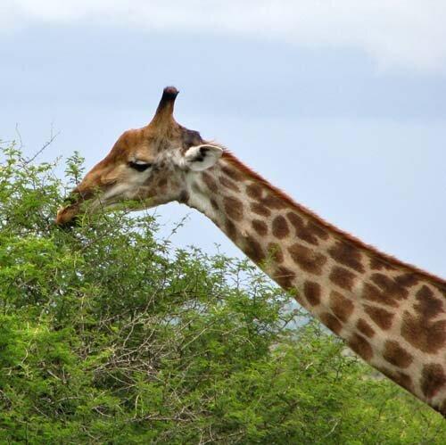 giraffe facts Giraffe food