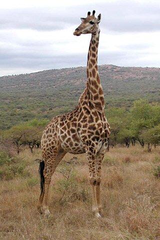 giraffe facts: Heart of giraffe