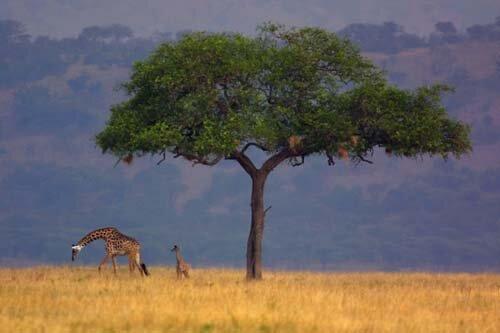giraffe facts The life of the giraffe