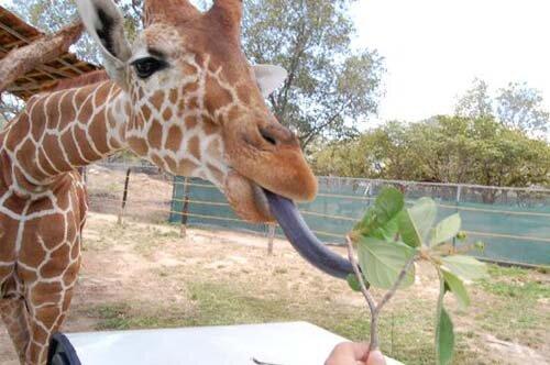giraffe facts giraffe tongue