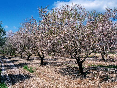 Almonds nutrition facts: Almond Tree.