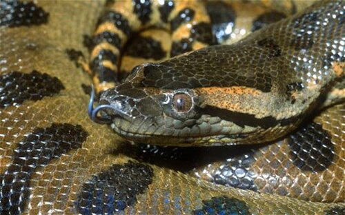 Amazon River facts anaconda lurk1 10 Interesting Amazon River Facts