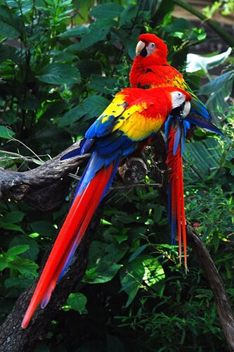 Amazon rainforest facts: Colorful Birds