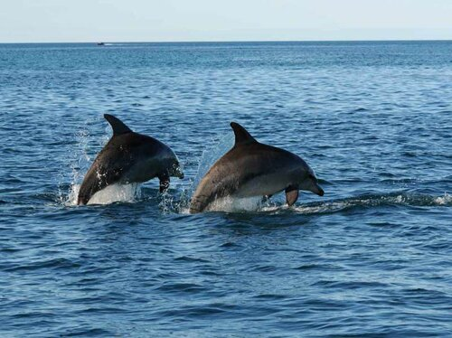 Bottlenose dolphin facts: funny dolphin