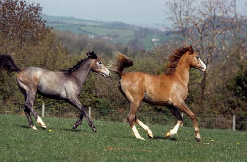 Horse facts Arabian horse1 10 Interesting Horse Facts