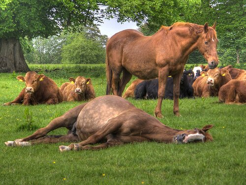 Horse facts Laying Horse1 10 Interesting Horse Facts