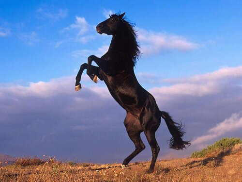 Horse facts: Standing Horse