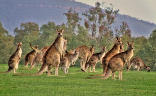 Kangaroo facts: mob