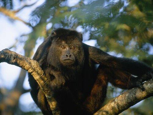 Monkey facts: climbing monkey