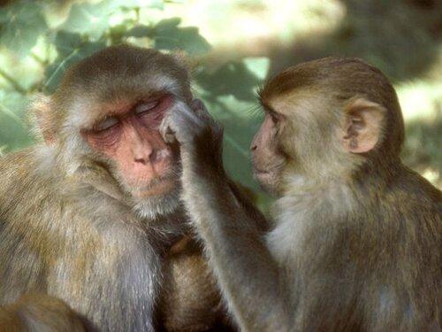 Monkey facts: rhesus monkey