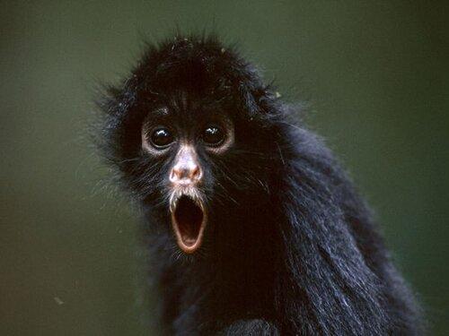Monkey facts: spider monkey