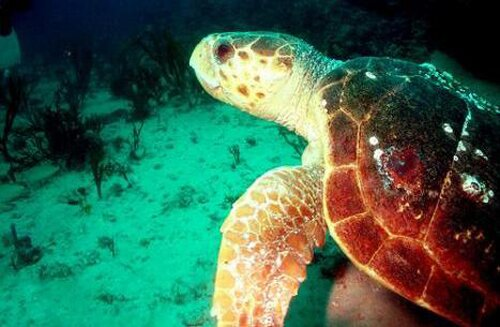 Sea turtle facts Swimming turtle 10 Interesting Sea turtle Facts