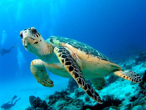 Sea turtle facts hawkbill turtle 10 Interesting Sea turtle Facts