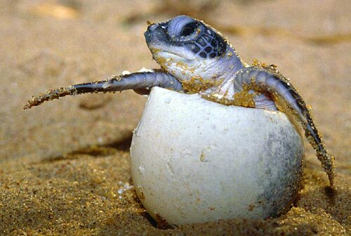 Sea turtle facts sea turtle egg 10 Interesting Sea turtle Facts