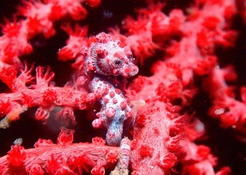 Seahorse facts: Pygmy seahorse