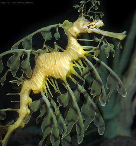 Seahorse facts: seadragon seahorse