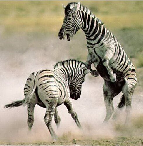 Zebra facts:angry Zebras