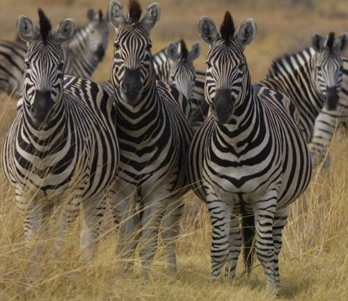 Zebra facts: Great zebra