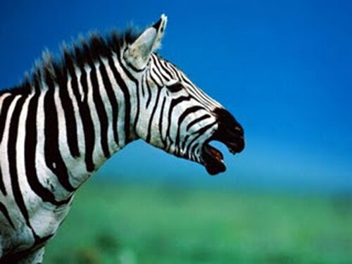 Zebra facts: Nice Zebra