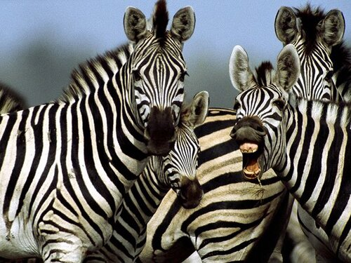 Zebra facts: Stripes of zebra