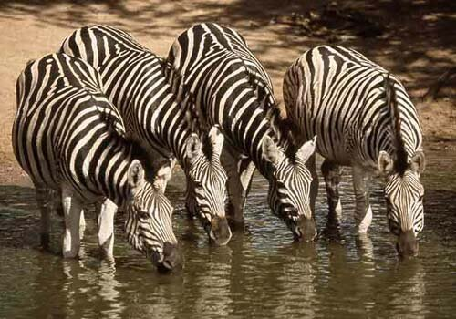 Zebra facts: Zebra drinking water