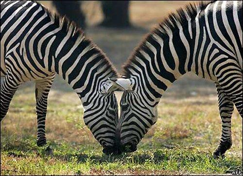 Zebra facts: Zebra eating
