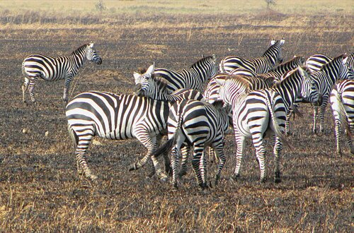 Zebra facts: Zebras at dry area