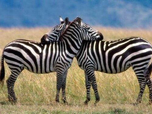 Zebra facts: a couple of zebra