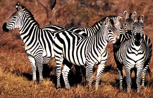Zebra facts: big zebras