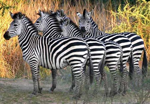 Zebra facts: group of zebra